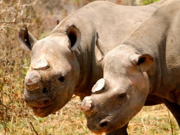 Rhinos Dehorned