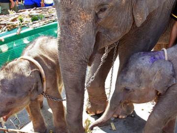 Elephant trading