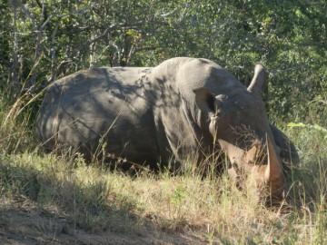 A resting Rhino