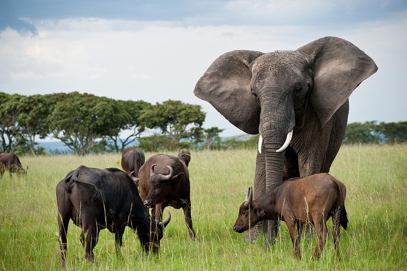 Elephant & Buffalos