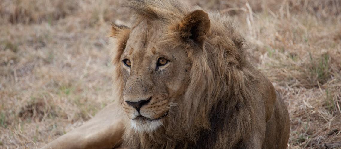 botswana_lion
