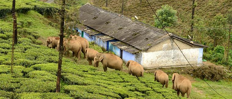 Elephanter 1