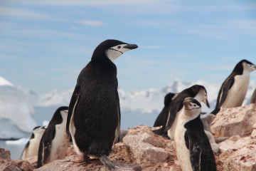chinstrap-penguin-1149258_960_720