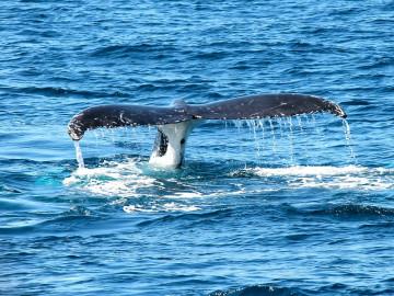 whale-367233_960_720