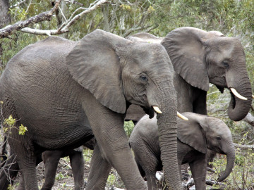 herd-of-elephants-1927515_960_720