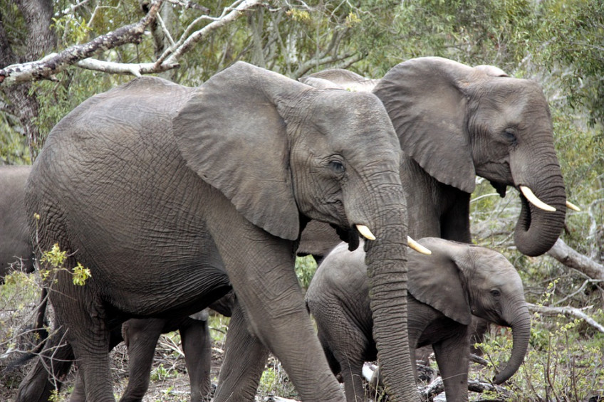 herd-of-elephants-1927515_960_720