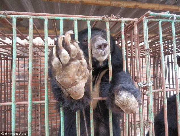 275E752A00000578-3030434-Barbaric_A_desperate_moon_bear_with_a_left_paw_chopped_off_reach-a-4_1428657042167